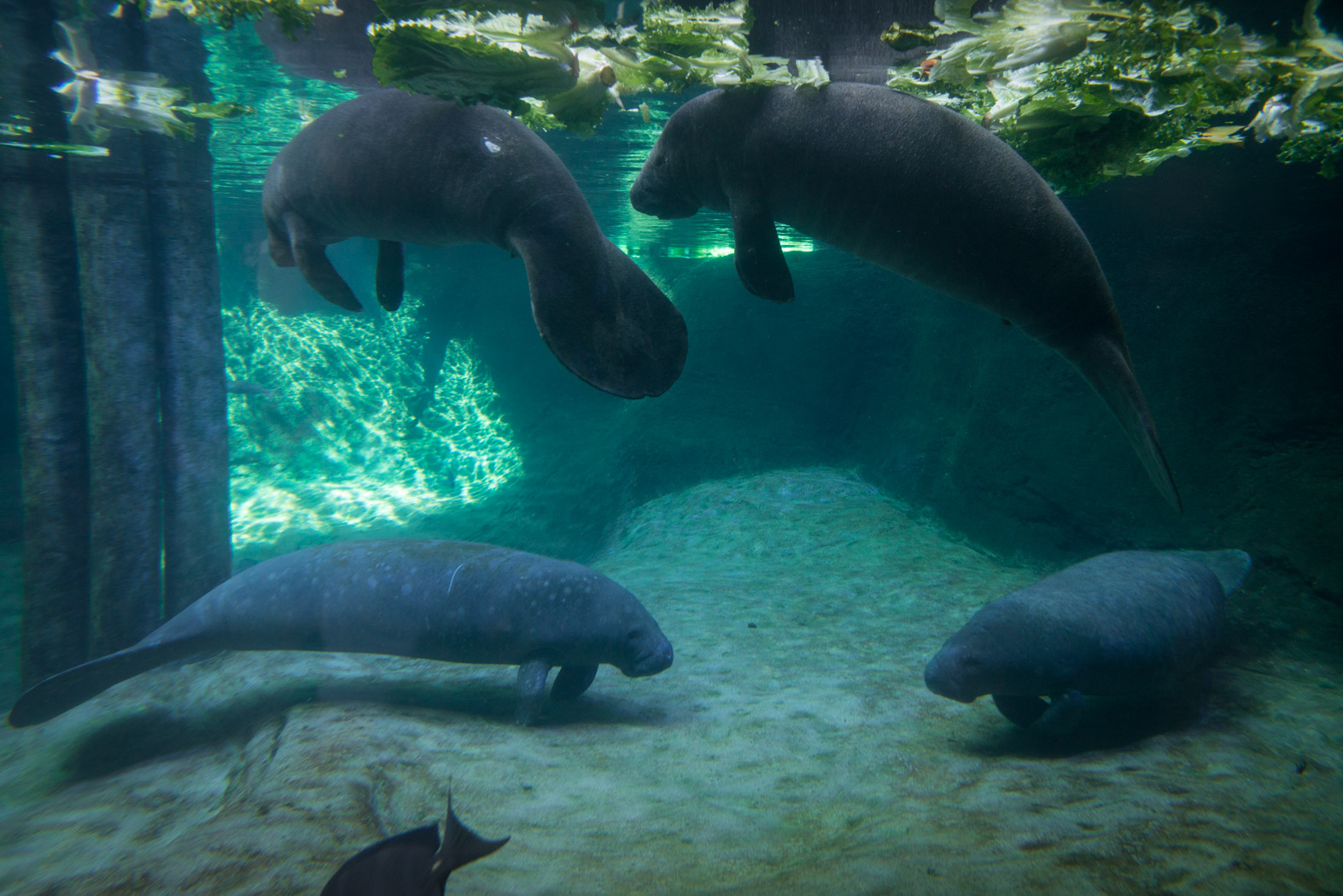 614now Omg Four Manatee Baby Rescues Arrive At Columbus Zoo