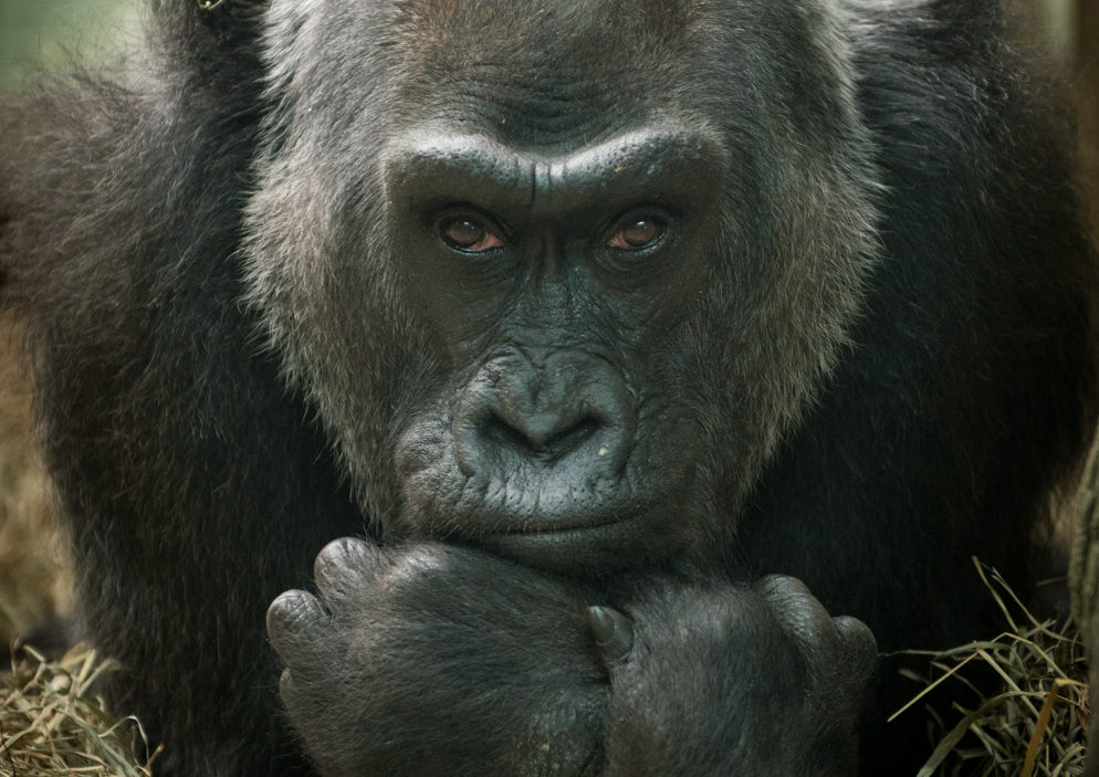 Colo, Photo by Grahm S. Jones — Columbus Zoo & Aquarium