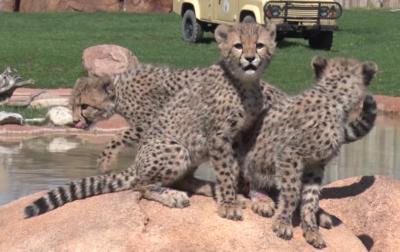 Columbus Cheetahs