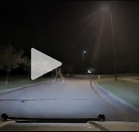 deer fight video
